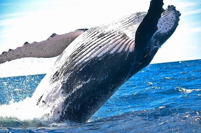 Die springenden Wale