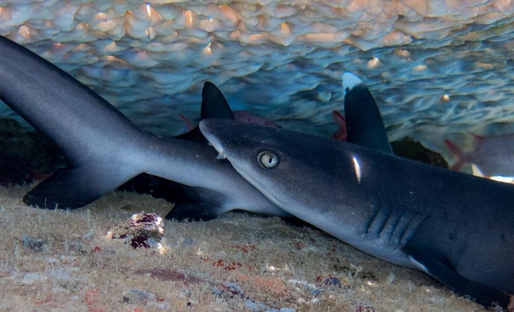 Fortpflanzung der Haie