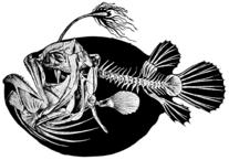 Paarung der Tiefsee-Anglerfische